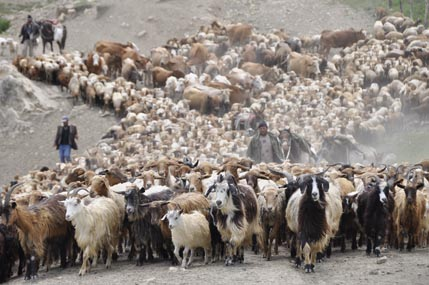 Sheep/cattle drive